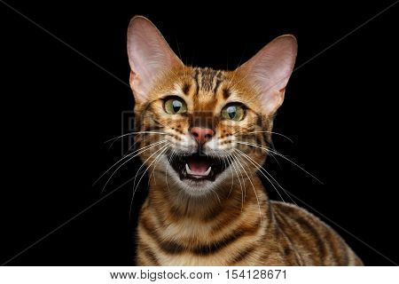 Close-up Gold Bengal Cat Meowing in Camera on isolated Black Background with reflection, Front view