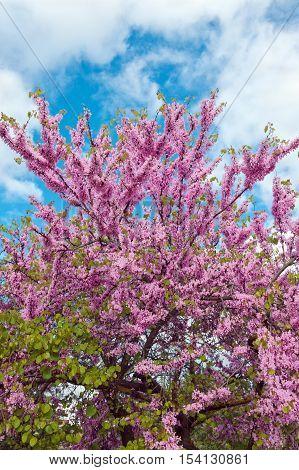 Legendary flowering Judas Tree against blue sky