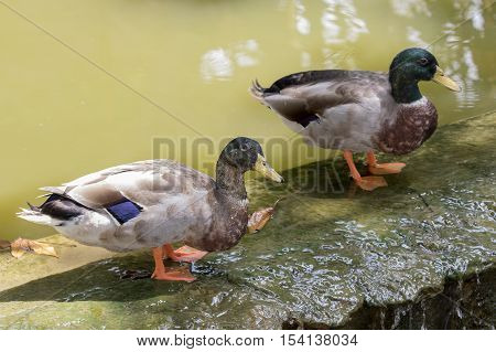 Image of two male mallard ducks (Anas platyrhynchos) standing on the rock.