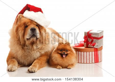 Chow-chow dog in Santa hat and Pomeranian Spitz on the white background with gifts and presents boxes