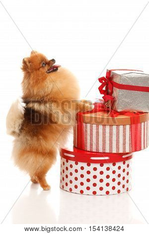 Pomeranian Spitz on the white background with gifts and presents boxes