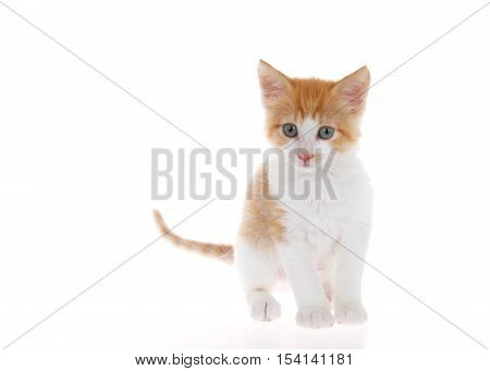 Orange and white tabby kitten standing on slightly reflective surface looking slightly to viewers left. Isolated on white background. Head slightly tilted as if curious listening