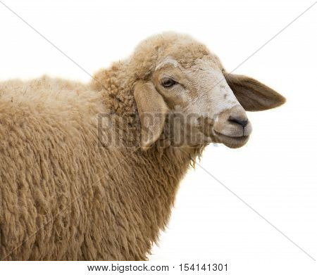 Image of a sheep on white background.