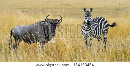 Zebra And Wildebeest On Grassland In Africa