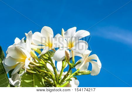 The Yellow And White Plumeria On The Plumeria Tree In Sky Background