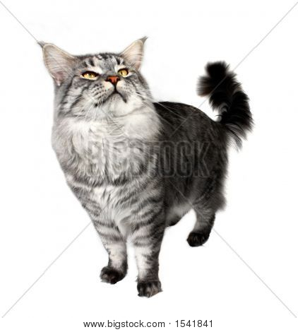 年轻的猫 Mainecoon