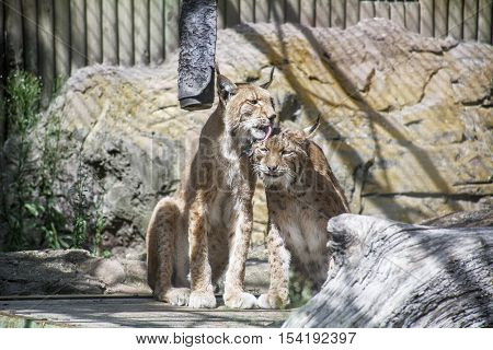One lynx is liking another lynx in the cage