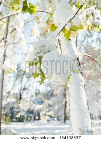 Winter Came Earlier Than Autumn. Green Leaves On A Tree Covered With Snow.