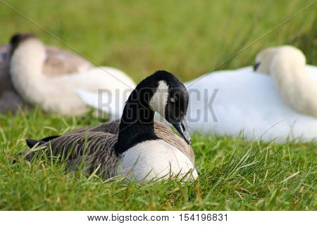 A canada Goose sleeping in front of a mute swan and cygnet