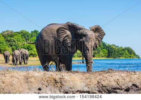 Botswana, Chobe National Park. Watering African elephants  in the Okavango Delta. The concept of active and exotic tourism