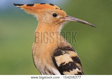 Portrait of a rare bird spotted, hoopoe, bangs, colored feathers