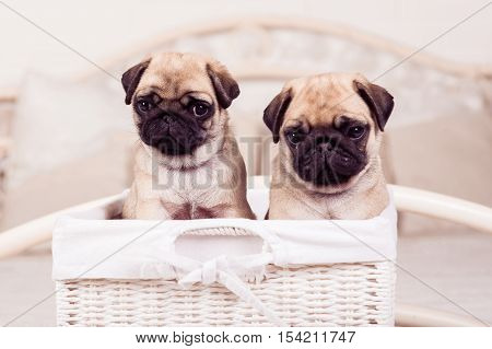 Little Beige Pug Puppies Sitting In The Wicker Basket