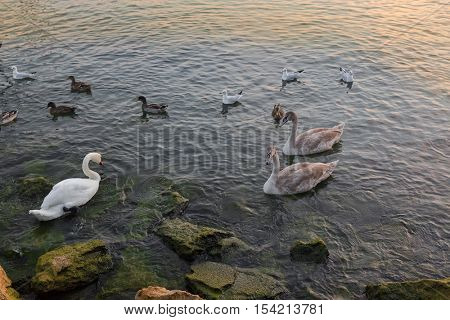 Swans, goose, wild geese, ducks, seagull, aquatic birds swimming during sunset at Porto di Bardolino harbor on Lago di Garda. Lake Garda is largest lake in Italy and popular place in the summer