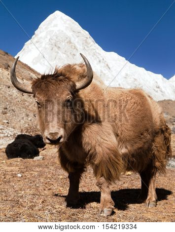 Yak on the way to Everest base camp and mount Pumo ri - Nepal