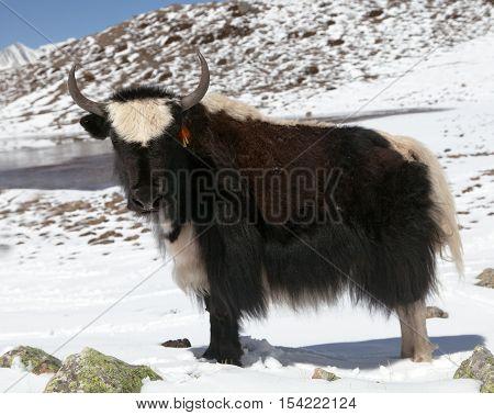 Yak on snow in Annapurna Area near Ice lake (Kicho Tal) Annapurna range Nepal
