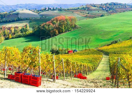 Autumn harvest - golden vineyards and grape of Piemonte, Italy