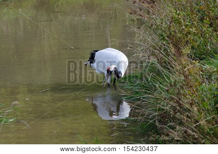 one red-crowned crane standing in the water and looking for food