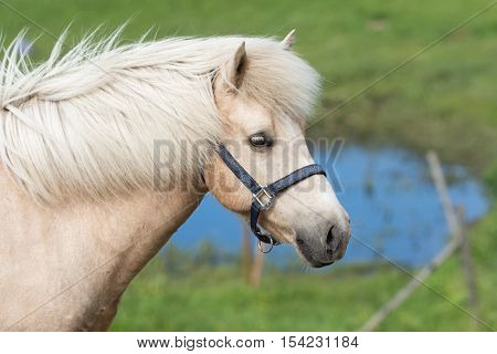 Closeup of icelandic horse. A palomino colored mare