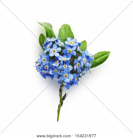 Bunch of small blue forget me not flowers with leaves isolated on white background clipping path included