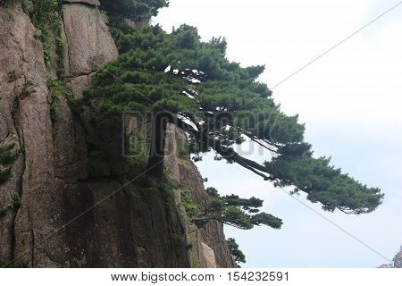 Tree facing a cliff in Yellow mountains (Huangshan), Anhui province, China