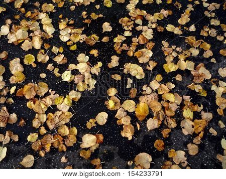 Autumn leaves on black Tarmac, yellow windfall