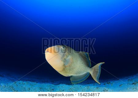 Yellowmargin Triggerfish fish