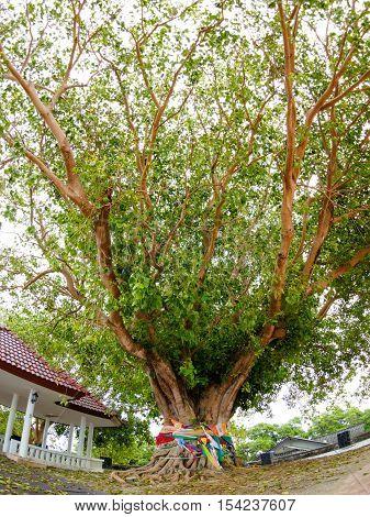 Big Bodhi Tree at Phromthep Cape phuket Thailand