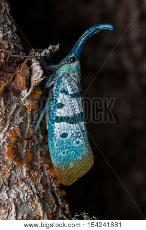 Lantern bug , Lantern Fly, the insect on tree fruits , Nature close up with lantern bugs (Pyrops heringgi)