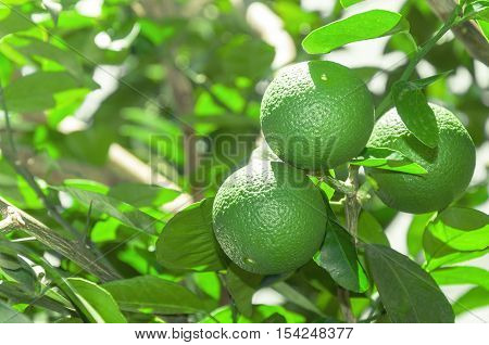 Tree With Green Lime Fruits With Leaves On The Background. Organic Green Lemon Fruit Ready For Harve