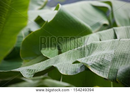 Banana leaf with raindrops or Wild Banana poster