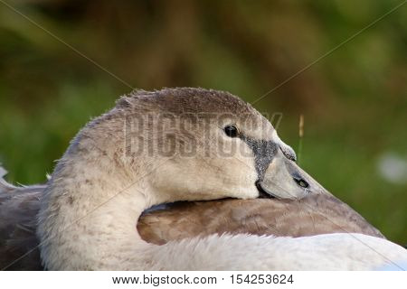 A mute swan cygnet resting it's head on it's wings