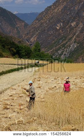 Chinese Farmer Works In A Rice Field