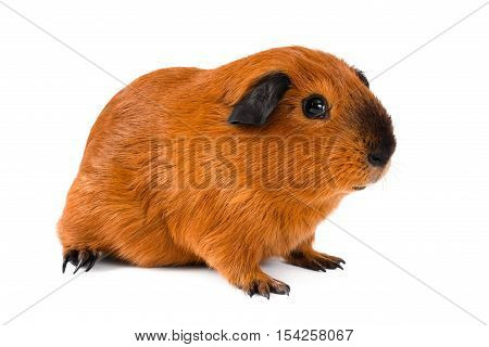 young guinea pig sitting on white background