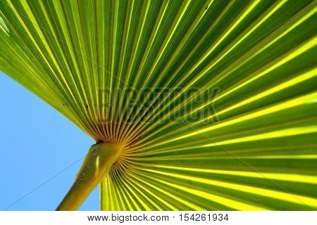 Pleated bright green palm leaf against blue sky.