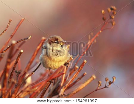 the bird Sparrow sits among the branches bathed in warm sunlight