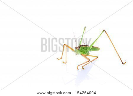 Green grasshopper bugs isolated on white background.