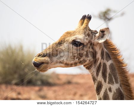 Portrait of a giraffe licking its lips with saliva flying through the air. Photo taken in the Palmwag Conservancy in Namibia.