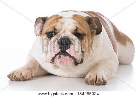 english bulldog laying down on white background