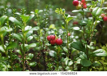 red cranberries growing in the forrest