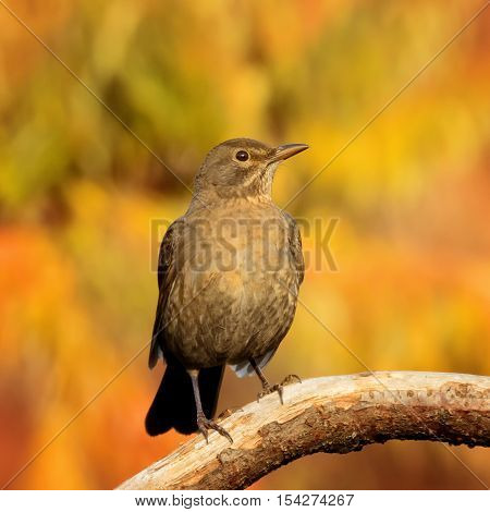 Front side close up of The common blackbird - Turdus merula (juvenile) on the autumn brench
