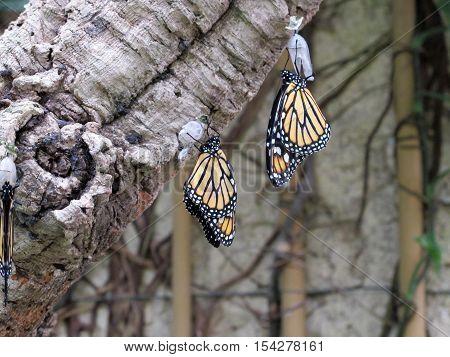A pair of beautiful Danaus plexippus hanging from a tree