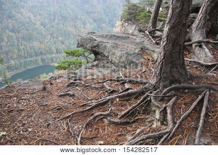 Roots grow into a cliff wall.  Part of Endless Wall Trail in New River Gorge National River,  Appalachian Mountains, West Virginia.