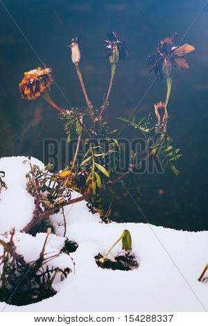 Romantic Winter Image With Frozen Flowerss Under First Snow.