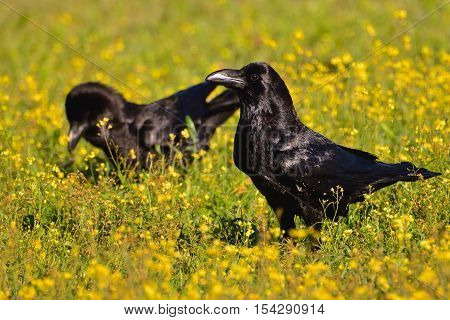 Crows In A Field Of Flowers.