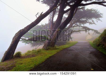Wind swept Cypress Trees surrounding a rural road in the fog taken in Pt Reyes, CA