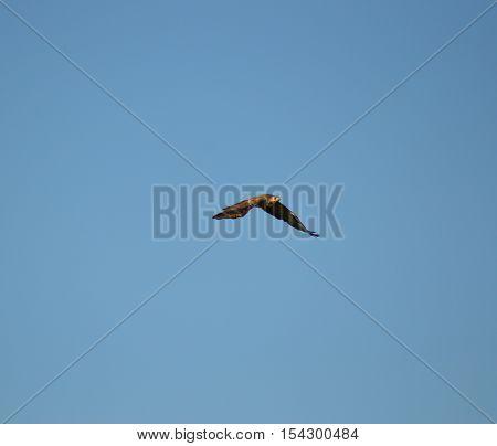 A raptor in flight in a blue sky in Belgium