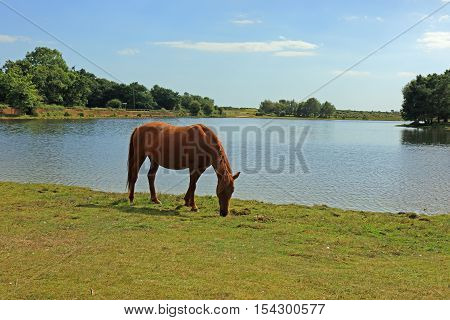 New Forest ponies grazing by the waters edge at Hatchet Pond