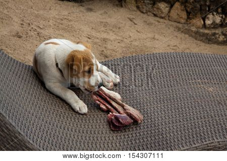 Little dog is sitting on a sunchair while he's eating a bone with fish gill.