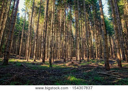 View of Spruce forest in Ko?evski Rog called also Ko?evje Rog Slovenia poster
