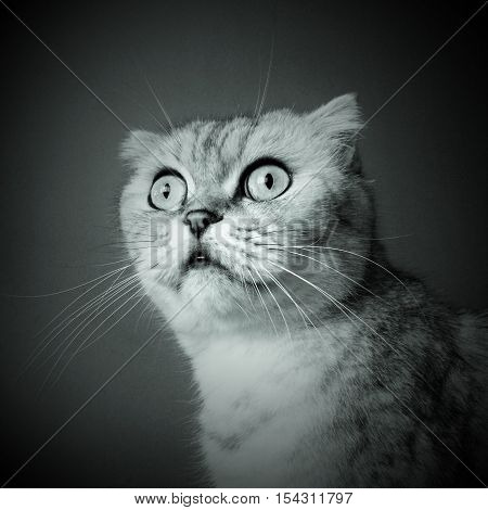 Scottish fold cat tabby color portrait black and white style feline sight cute pet animal
